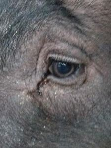 pigs-eye-2014